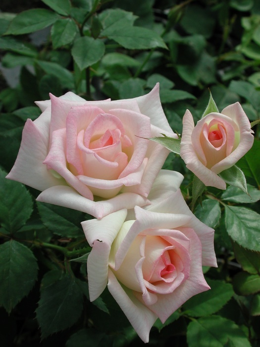 'Leading Lady ™ (mini-flora, Benardella 2006)' rose photo