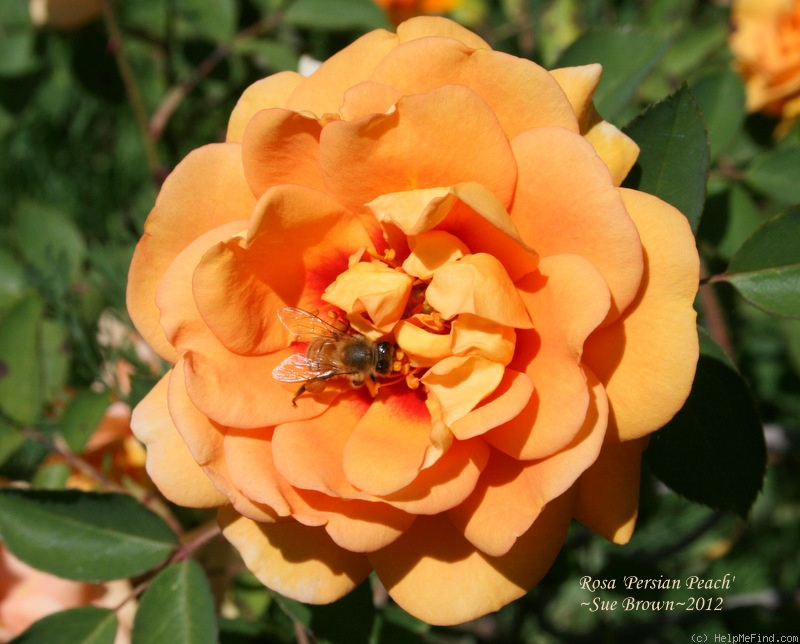 'Persian Peach' rose photo