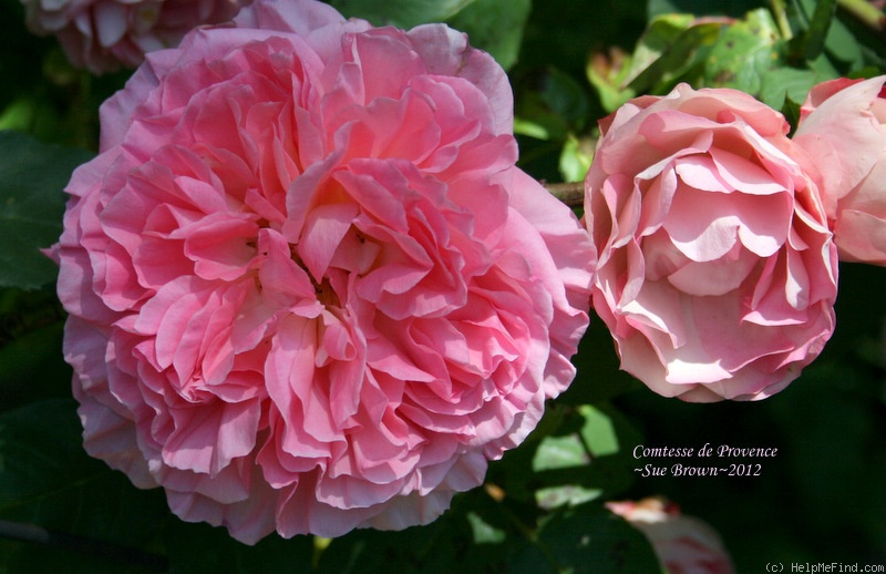 'Comtesse de Provence' rose photo
