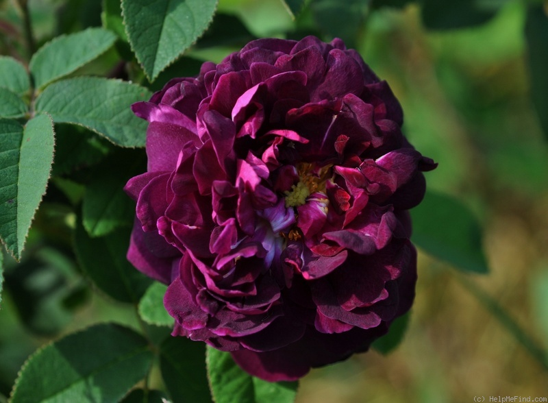 'Tuscany Superb' rose photo