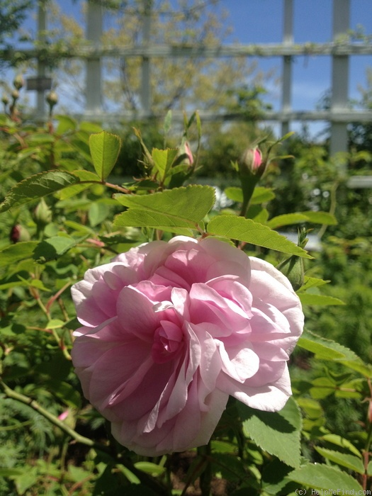 'Prudence Roeser' rose photo
