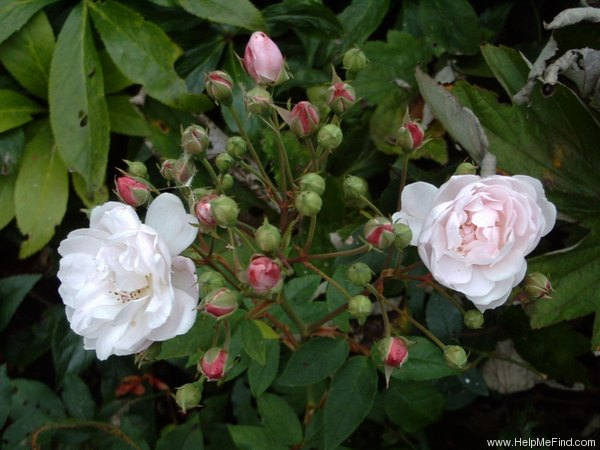 'Rosier de Phillipe Noisette' rose photo
