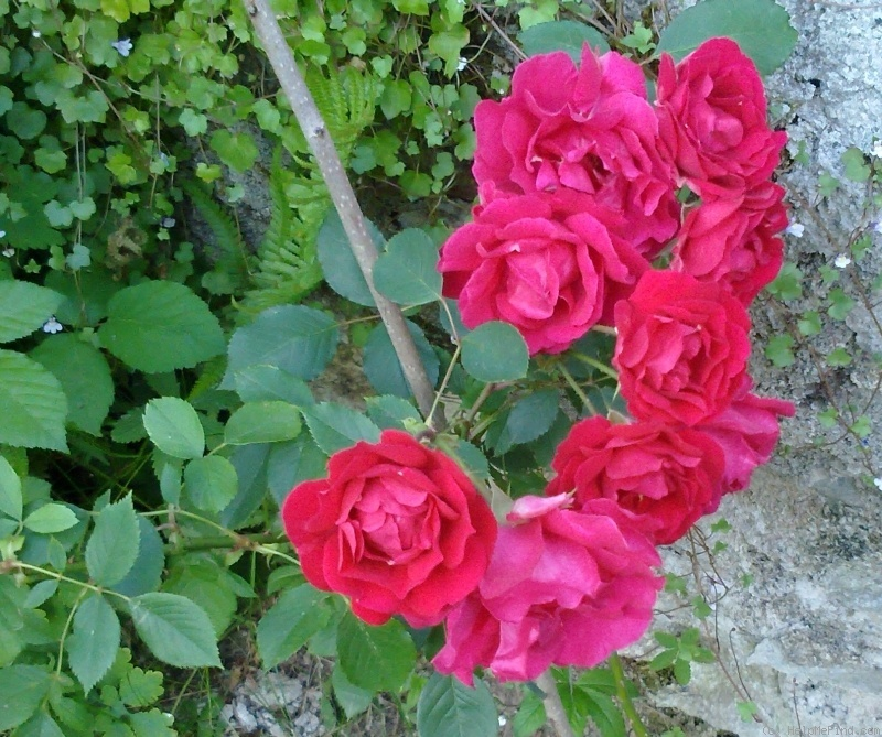 'Blaze Superior' rose photo