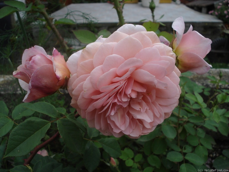 'William Morris' rose photo