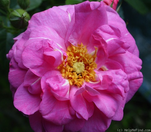 'Cape Diamond™' rose photo