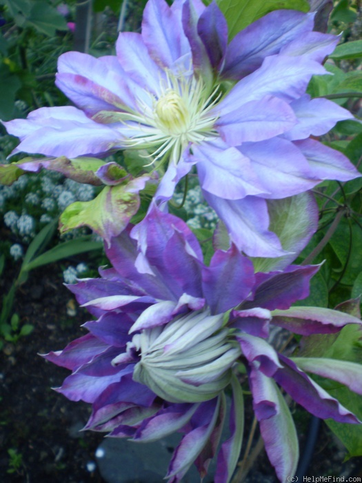 'Beauty of Worcester' clematis photo