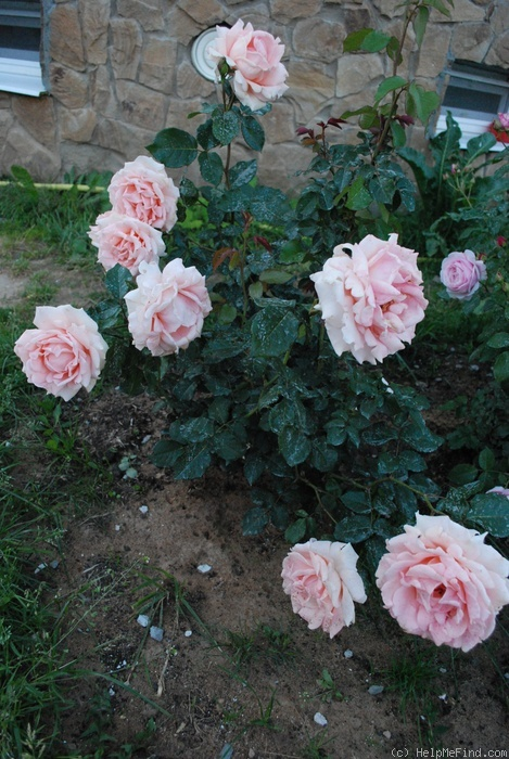 'Breath of Life (Large Flowered Climber, Harkness, 1980)' rose photo