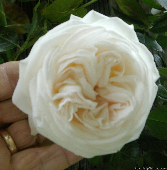 'Blanc Pierre de Ronsard' rose photo