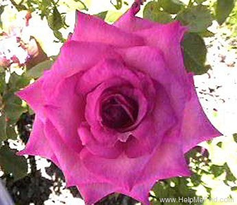 'Signature ®' rose photo