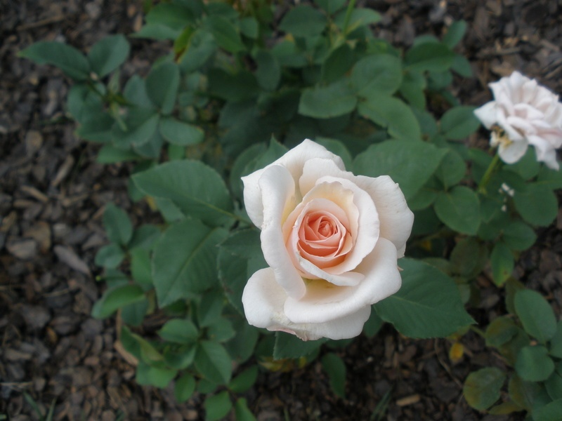 'Ophelia (hybrid tea, Paul, 1912)' rose photo