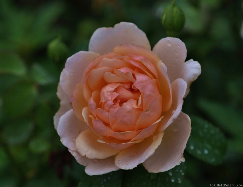 'Madame Paule Massad ®' rose photo