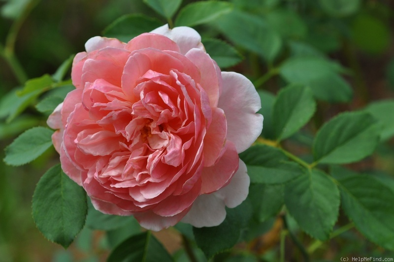'Strawberry Hill' rose photo