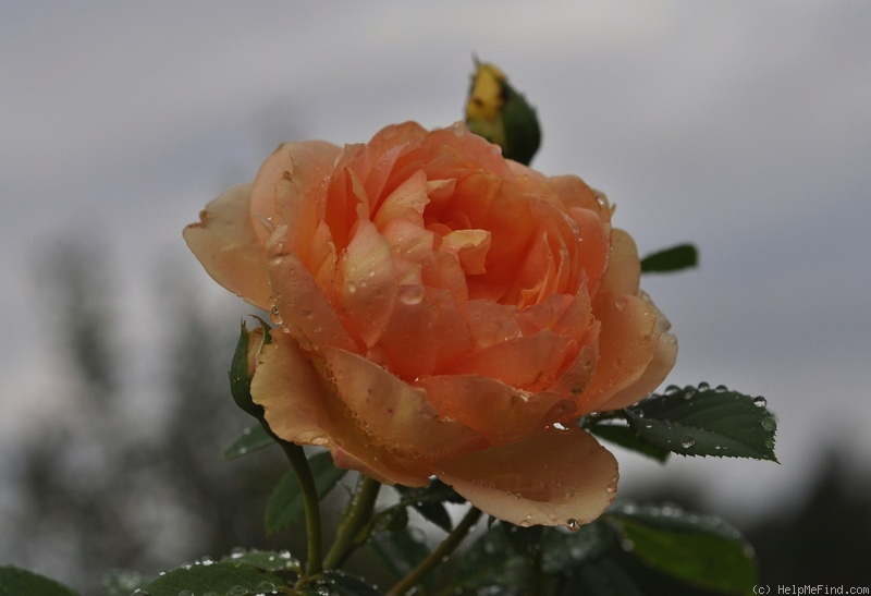 'Lady of Shalott' rose photo