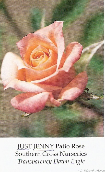 'Just Jenny' rose photo