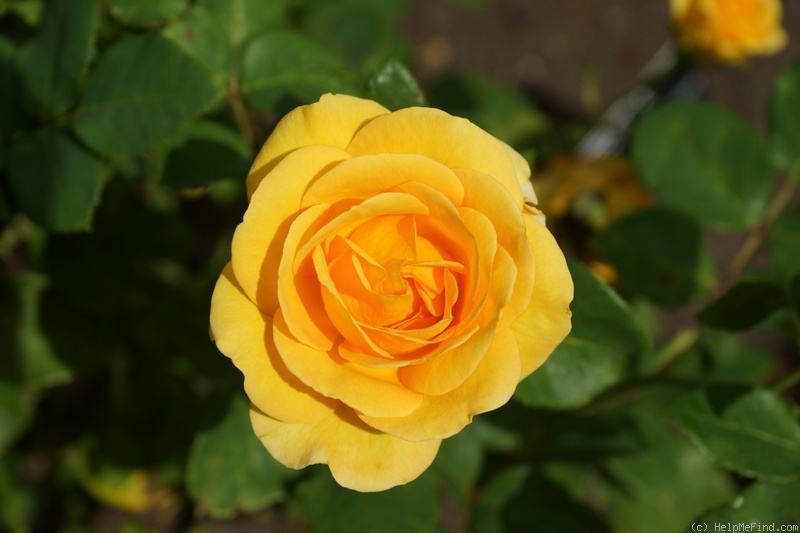 'You Are My Sunshine (hybrid tea, Fryer 2007)' rose photo