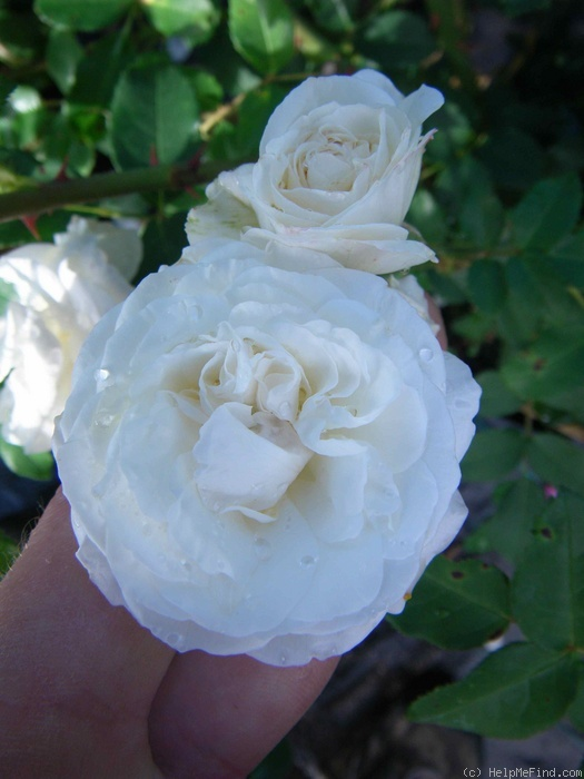 'Midsummersnow ®' rose photo
