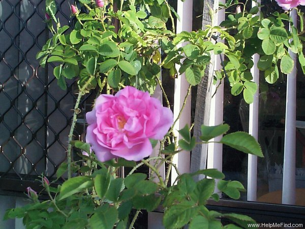 'Quatre Saisons' rose photo