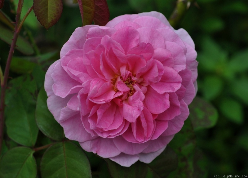 'Gertrude Jekyll' rose photo