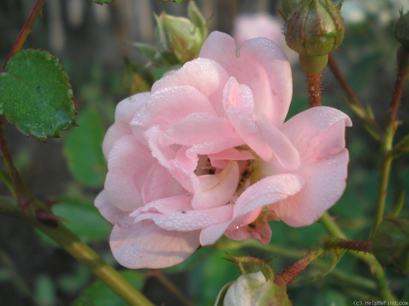 'The Fairy' rose photo