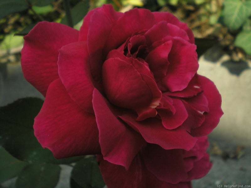 'Mister Lincoln' rose photo