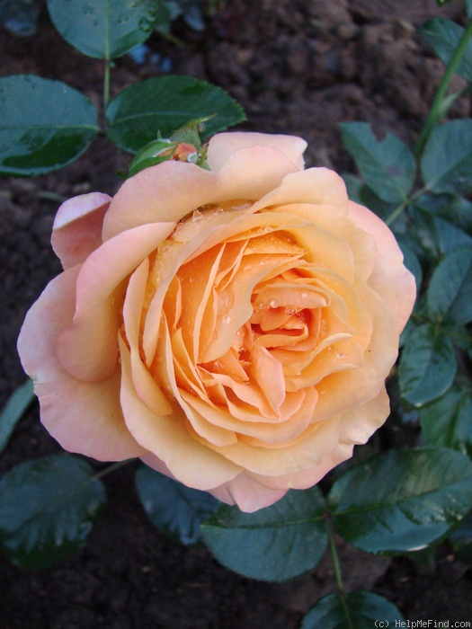 'Ibiza (floribunda, Interplant)' rose photo