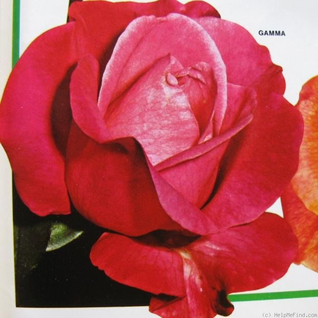 'Gamma (hybrid tea, Gaujard, 1972)' rose photo