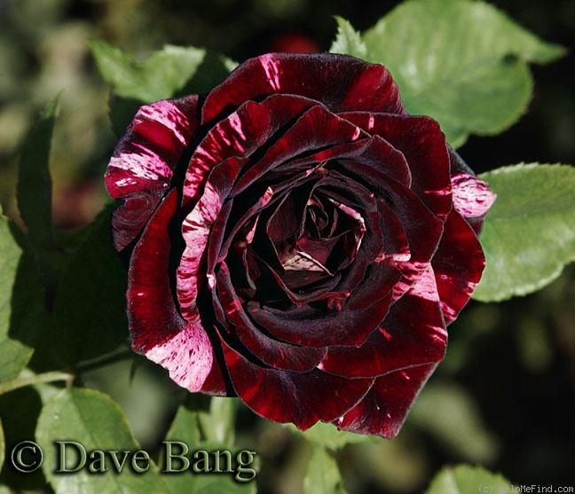 'Black Cherry Ice Cream' rose photo