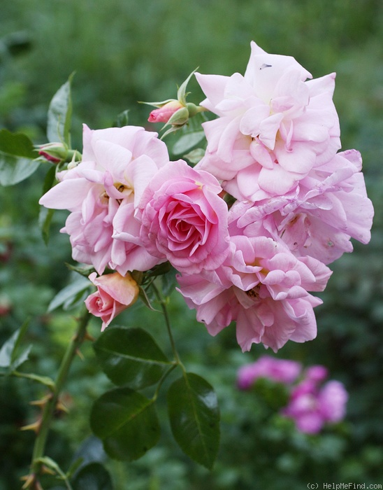 'Marie-Victorin' rose photo