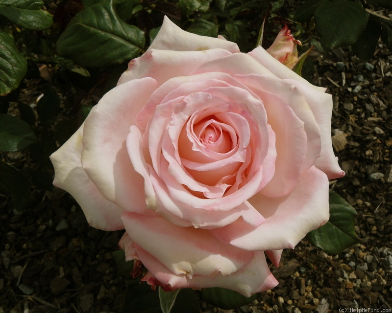 'April Hamer' rose photo