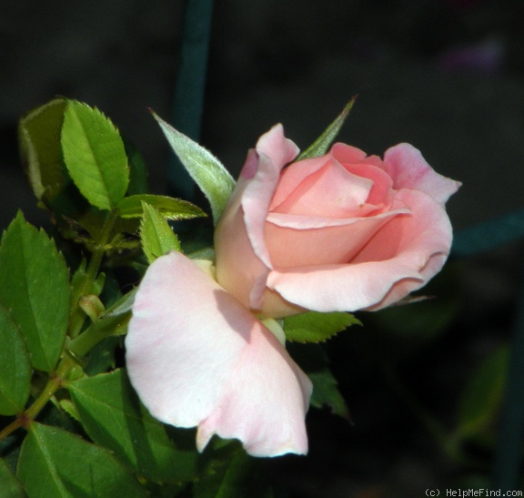 'Rural Rhythm' rose photo