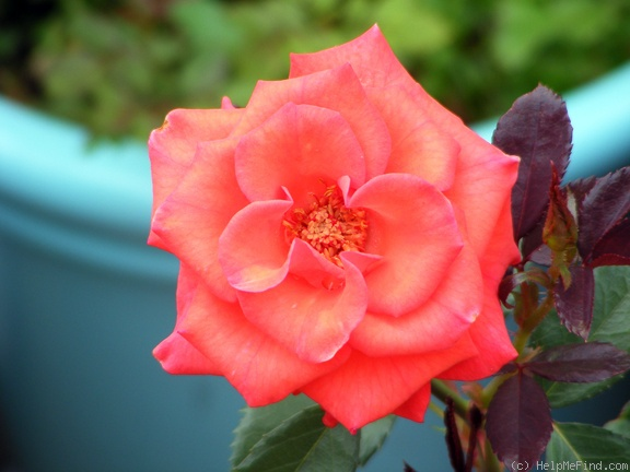 'Powerhouse' rose photo