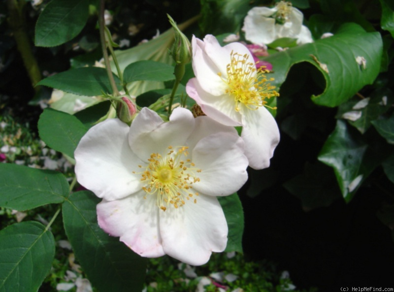 '<i>Rosa</i> X <i>dupontii</i> Déségl.' rose photo