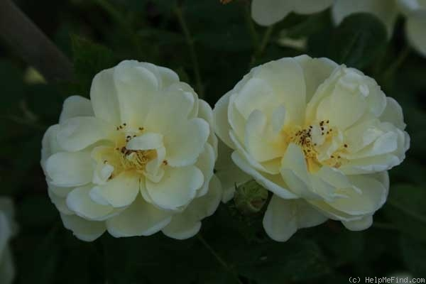 'Aviateur Blériot' rose photo