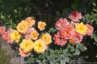 'Belinda (floribunda, Tantau, 1971)' rose photo