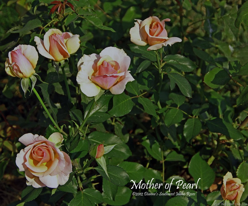 'Mother of Pearl ™ (grandiflora, Meilland, 2006)' rose photo