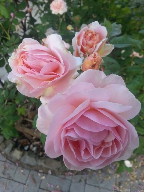 'A Shropshire Lad' rose photo