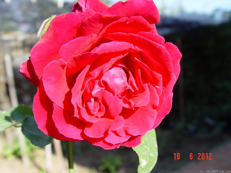 'George Dickson' rose photo