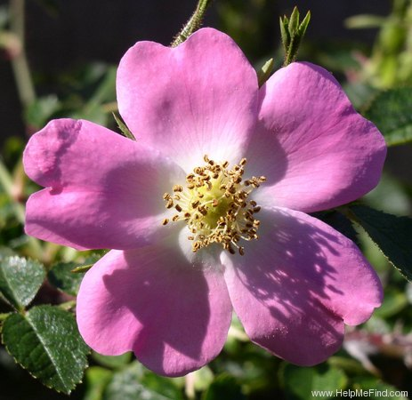 'Eglantine (species)' rose photo