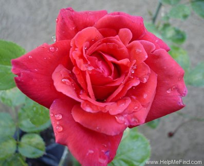 'Aztec' rose photo
