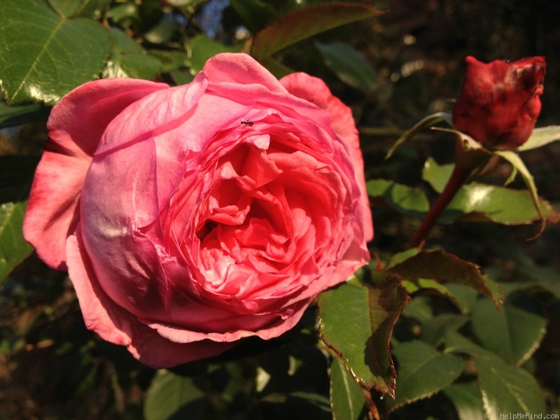'Guelilah' rose photo