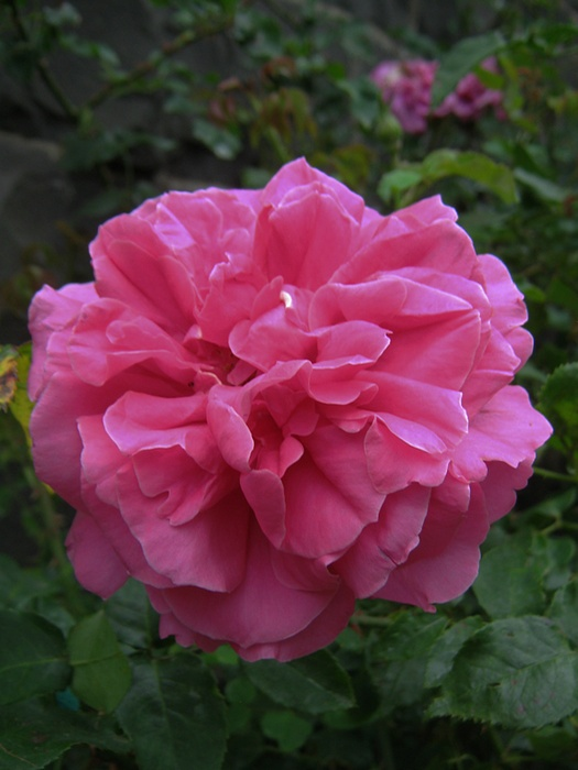 'Emily Rhodes' rose photo