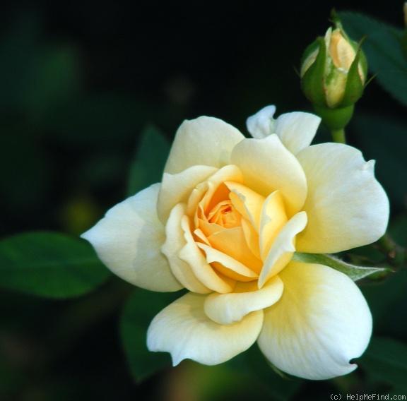 Jefferson Rose (Softee)