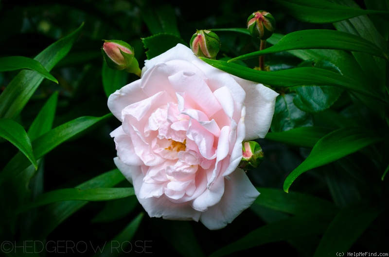 'Dr. Van Fleet' rose photo