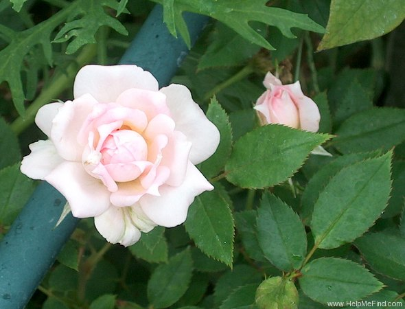 'Choo-Choo Centennial' rose photo