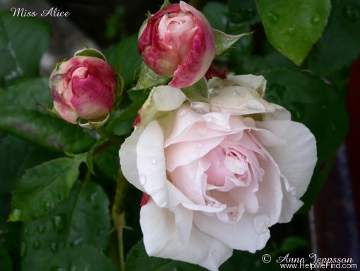 'Miss Alice ® (shrub, Austin 2000)' rose photo