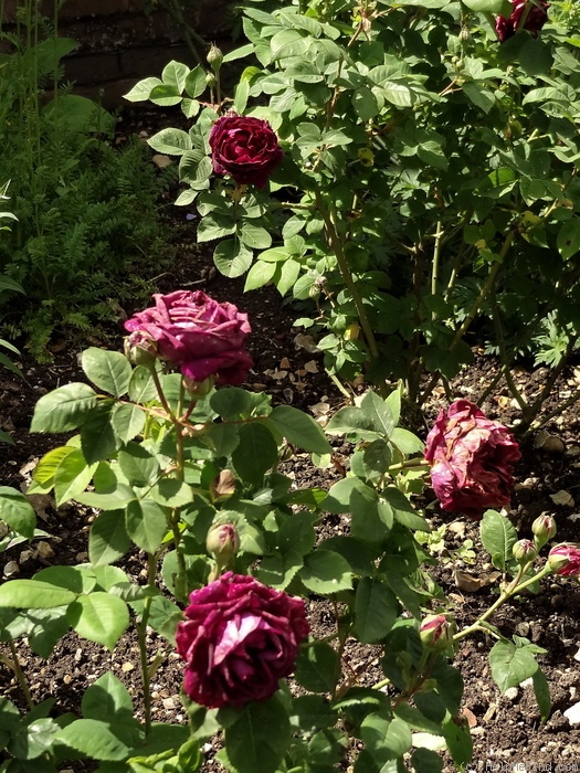 'Baron de Bonstetten' rose photo