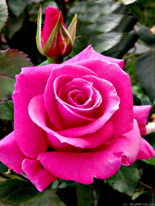 'Survivor (hybrid tea, Lim, 2010)' rose photo
