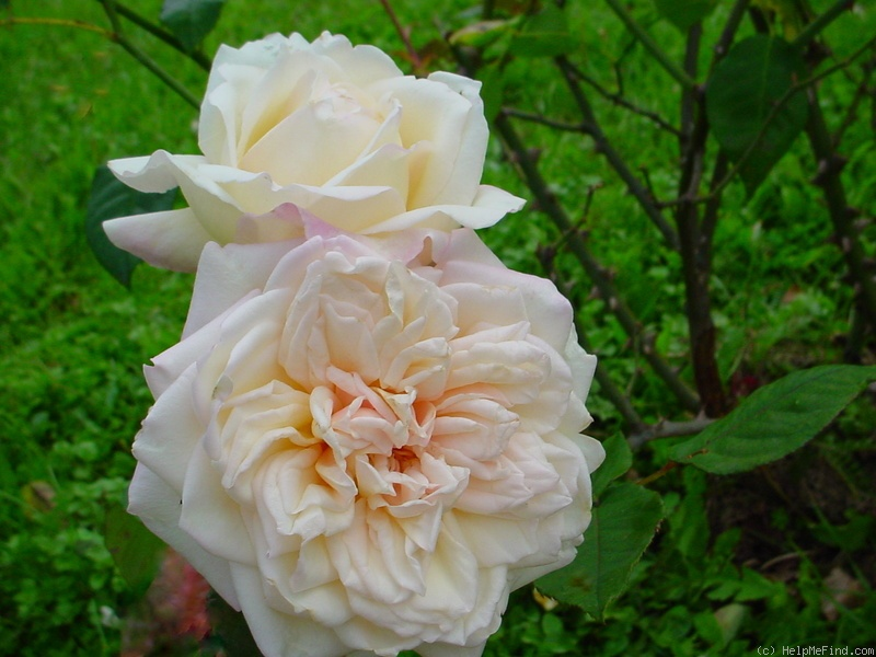 'Marie van Houtte' rose photo