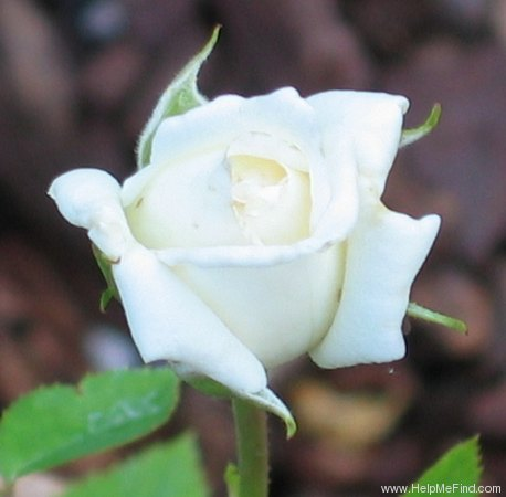 'Pacesetter' rose photo