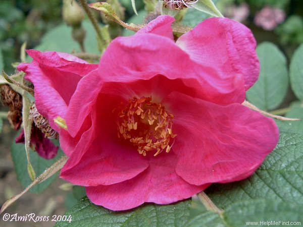 'Atropurpurea (Rugosa, Paul, 1899)' rose photo